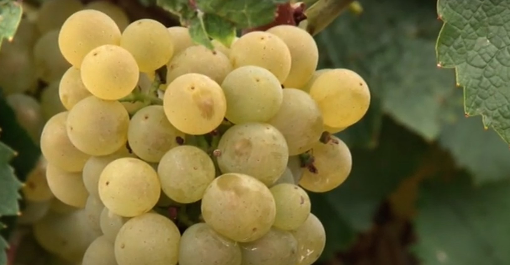 Grožđe belo