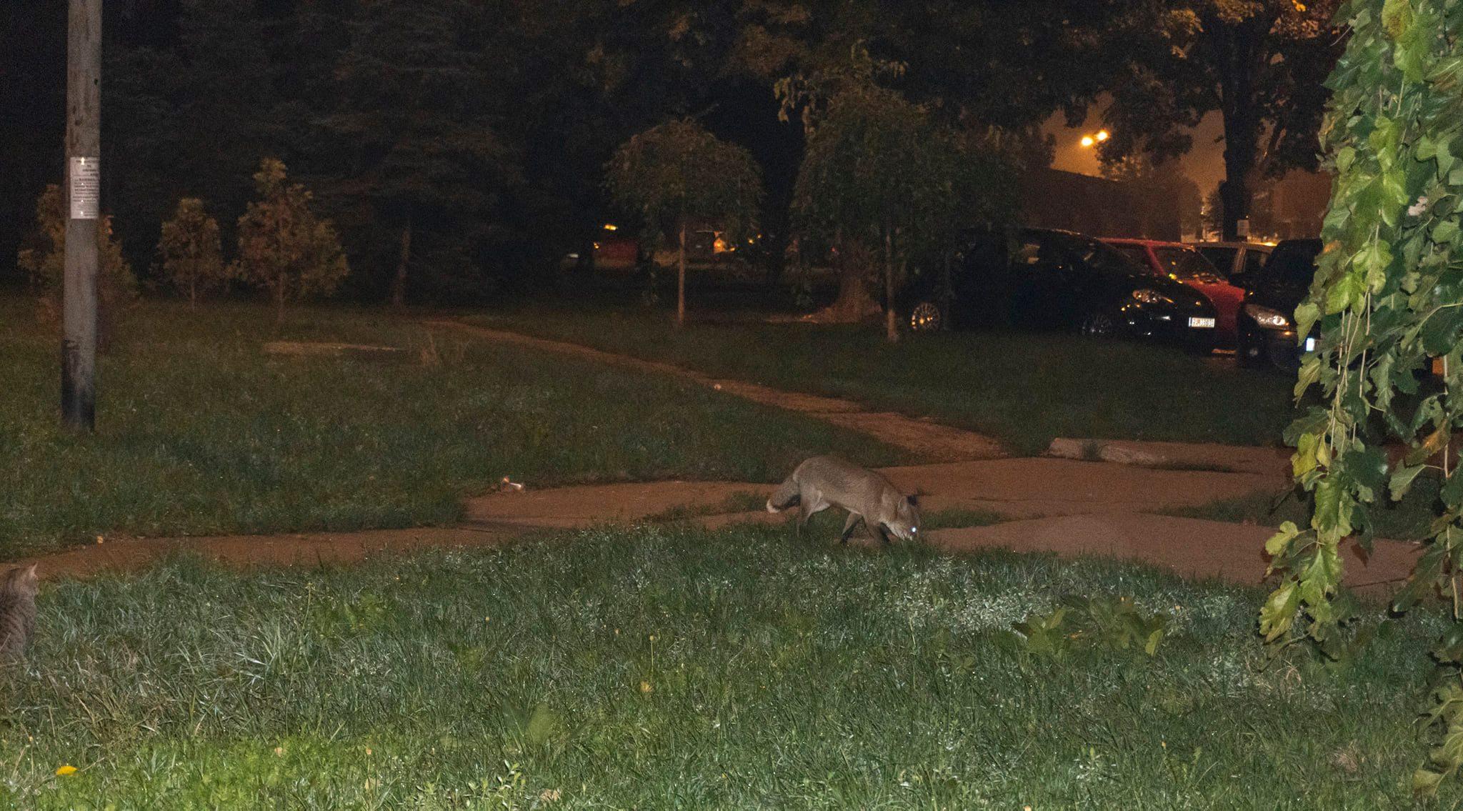 Lisica na Sodari