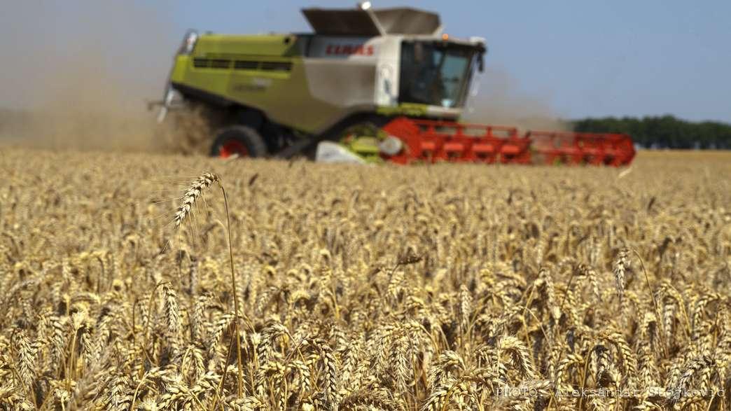 Pančevo, njiva, žito, pšenica
