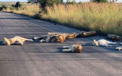 Lavovi spavaju na putu